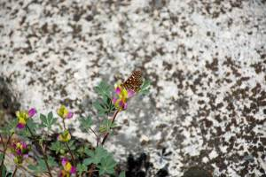 yosemite 5.2015 butterfly on lupine